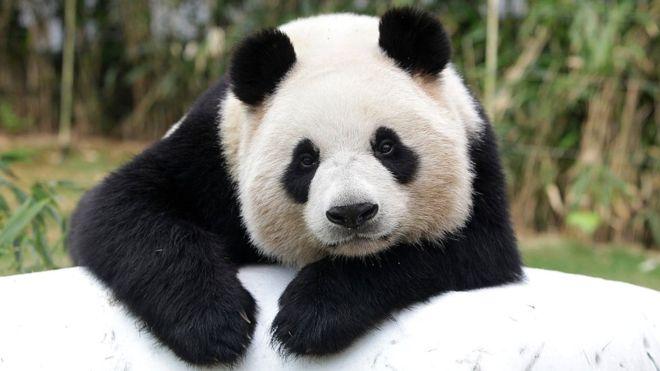 panda-watch